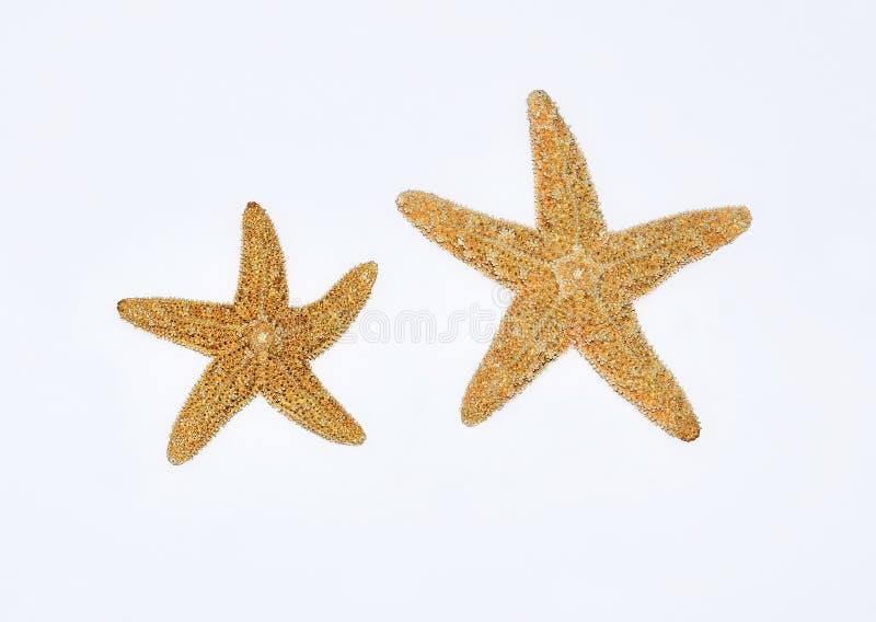 Sjöstjärnor på vitbakgrund royaltyfri bild