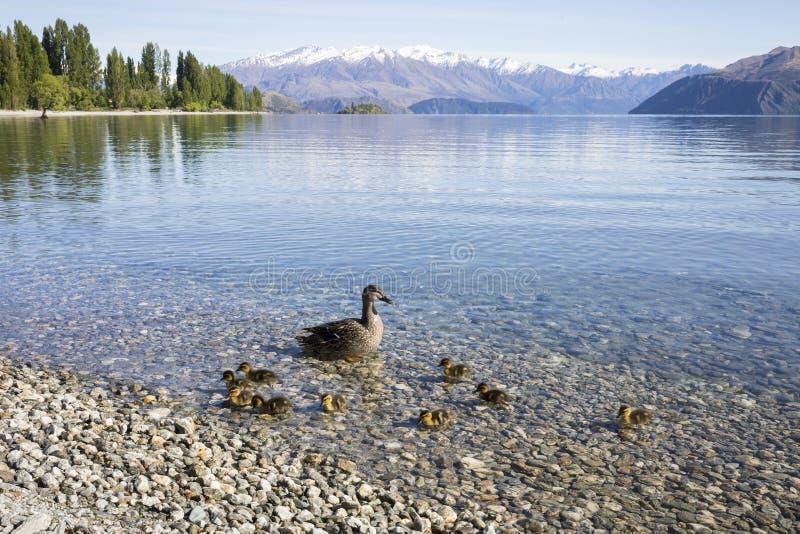 SjöWanaka shoreline med änder, Roys fjärd, Wanaka, Nya Zeeland royaltyfria foton