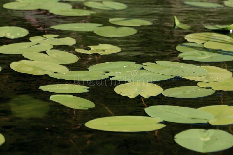 Sjöyttersida med vatten Lily Flowers i Ryssland arkivbild