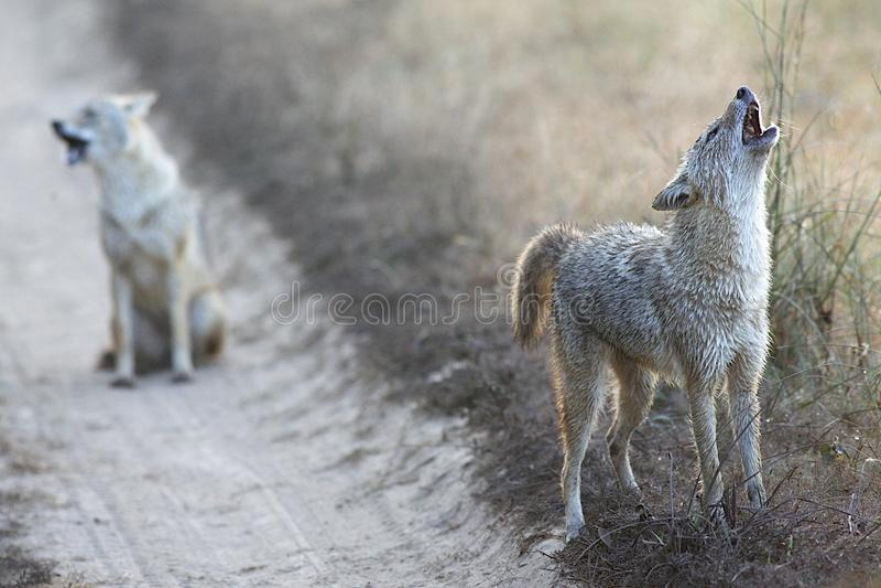 Sjakaler i den Kanha nationalparken Indien royaltyfria foton