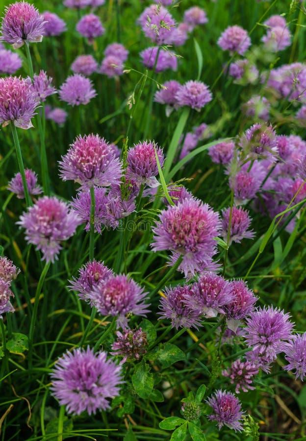 Sjalotuien Uien met groene veren en lilac bloemen royalty-vrije stock afbeelding