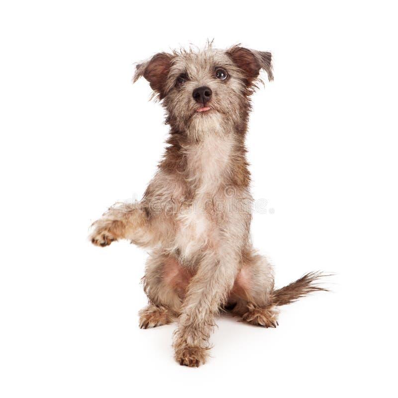 Sjofele Terrier-Puppy het Schudden Poot stock afbeeldingen