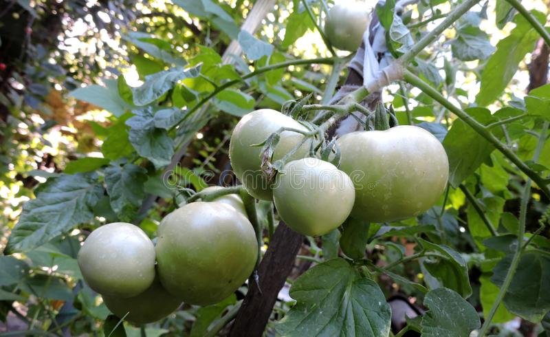 Sju gröna tomater mognar i trädgården royaltyfria foton