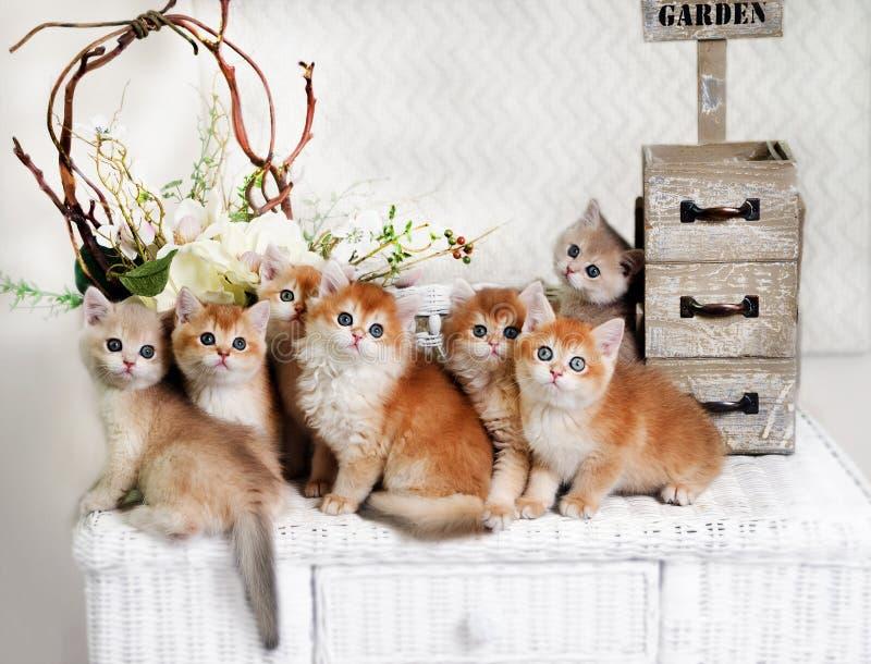 Sju kattungar föder upp brittiska Shorthairwith som gröna ögon sitter på en vide- nattduksbord Fem guld- färg för chinchilla och  royaltyfria foton