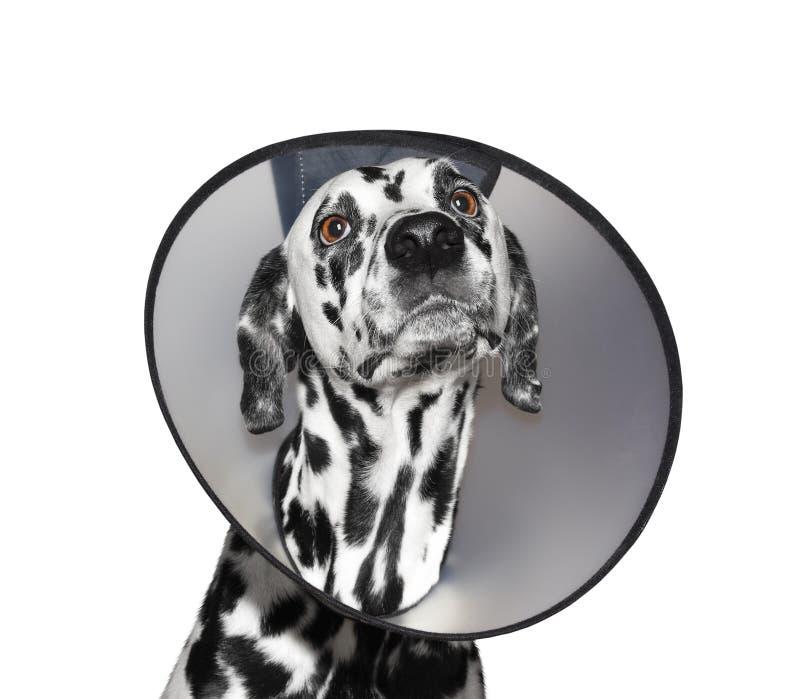 Sjuk dalmatian hund som bär en skyddande krage - som isoleras på vit royaltyfri fotografi