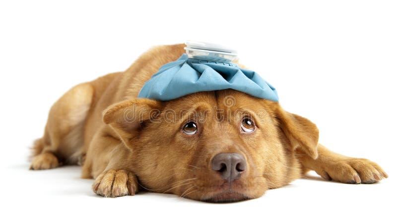 sjuk hund royaltyfri bild