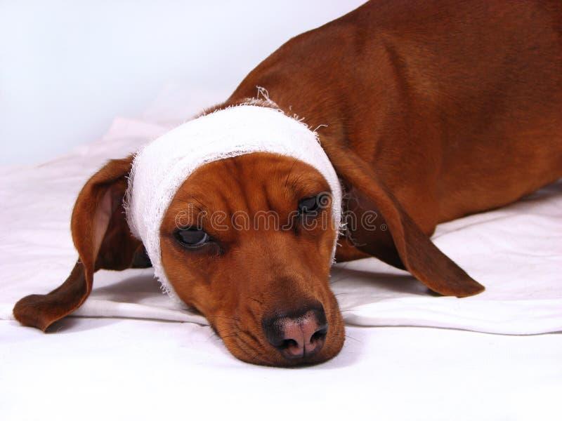sjuk hund arkivbild