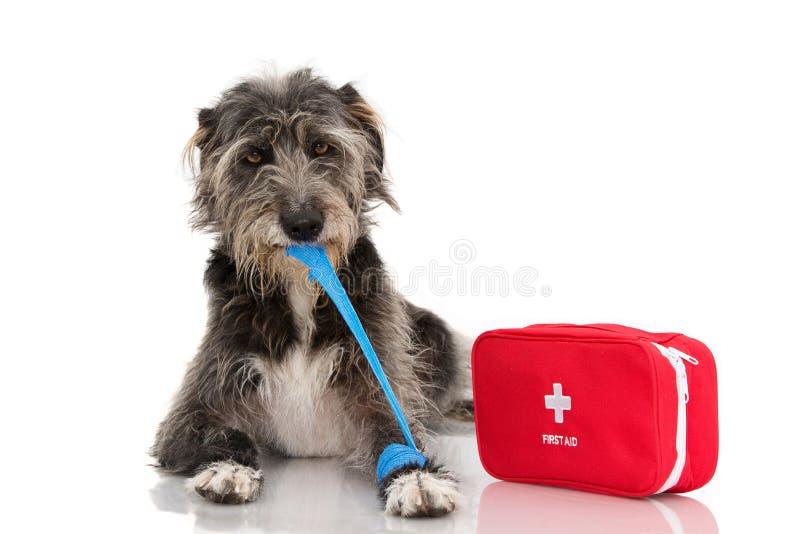 sjuk hund DEN SÅRADE OCH ROLIGA SVARTA VALPEN SOM LIGGER NER BITTING OCH TAR BORT EN BLÅTT, FÖRBINDER ELLER RESÅRMUSIKBANDET PÅ F arkivfoto