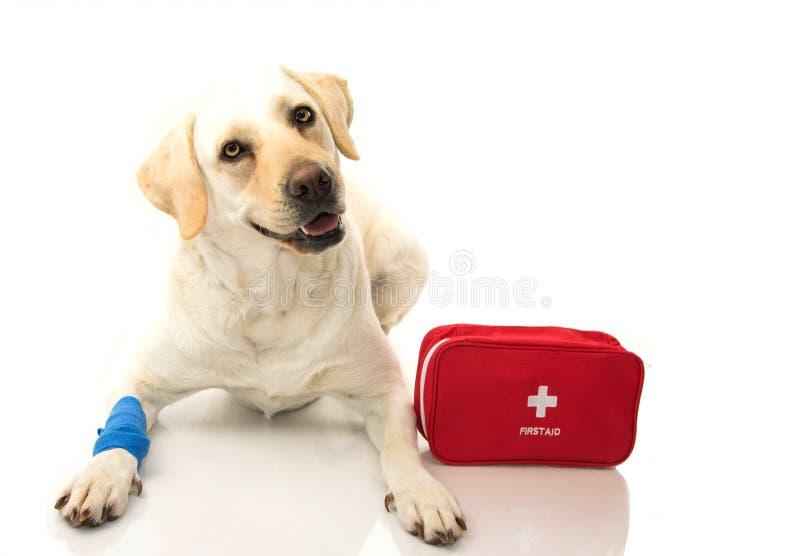 sjuk hund LABRADOREN SOM NER LIGGER MED EN BLÅTT, FÖRBINDER ELLER RESÅRMUSIKBANDET PÅ FÖTTER OCH ETT NÖDLÄGE ELLER EN FIRT-HJÄLPM arkivbild