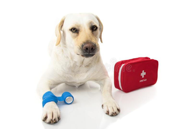 sjuk hund LABRADOREN SOM NER LIGGER MED EN ELASTISK BLÅTT, FÖRBINDER ELLER SÄTTER BAND PÅ FÖTTER OCH ETT NÖDLÄGE ELLER EN FIRT-HJ arkivfoton