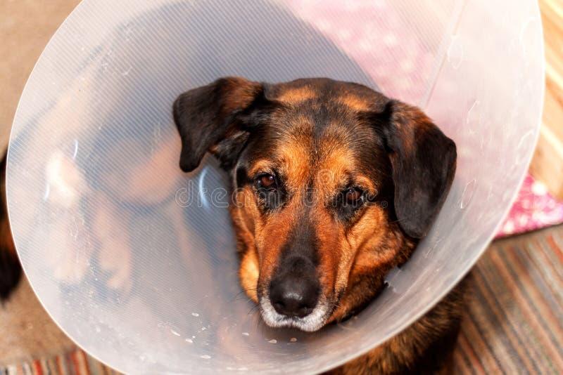 Sjuk hund som bär en trattkrage Behandling av sårade bakre ben av en hund royaltyfri bild