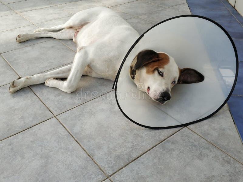 Sjuk hund som ner ligger med kottekragen royaltyfri foto
