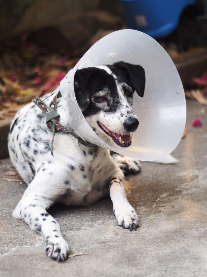 Sjuk sårad gammal dalmatian hund ingen fullblod som bär den halva genomskinliga böjliga plast- skyddande kragen arkivfoton