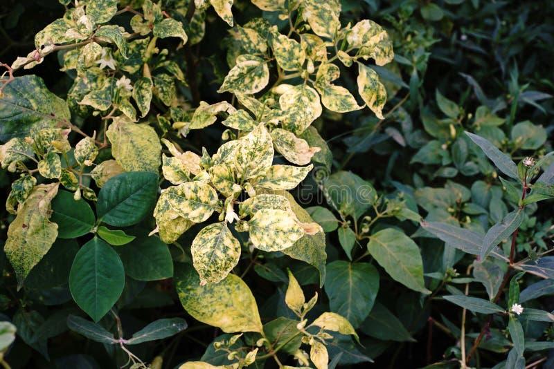 Sjukdom för växt för chiliväxtoordning royaltyfri foto