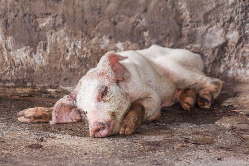 Sjukt svin i lantgård arkivbild