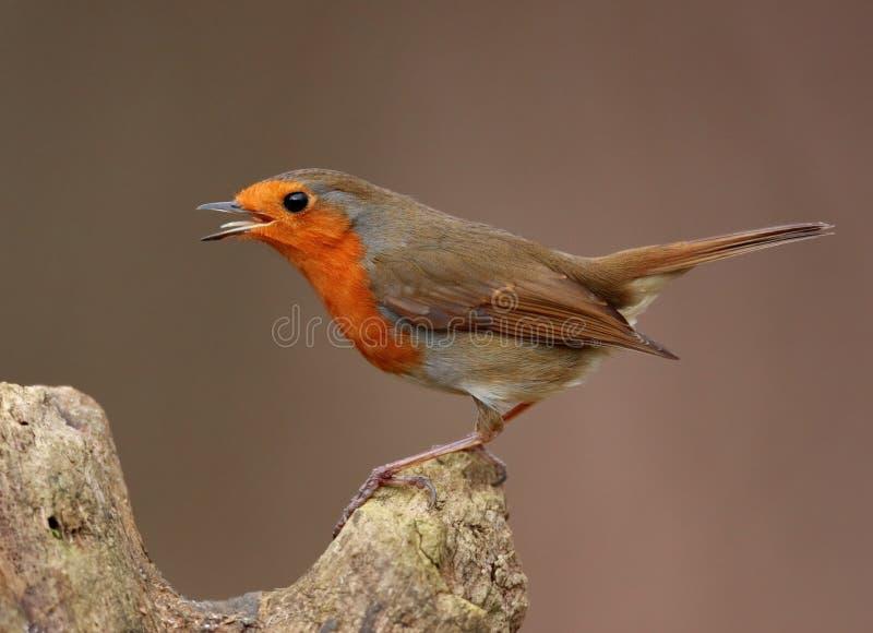 sjunga för fågelrobin arkivfoto