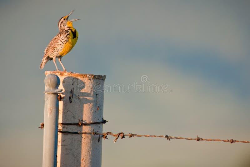 sjunga för meadowlark som är västra royaltyfri fotografi