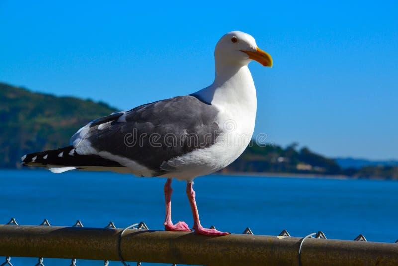 sjunga för seagull arkivfoto