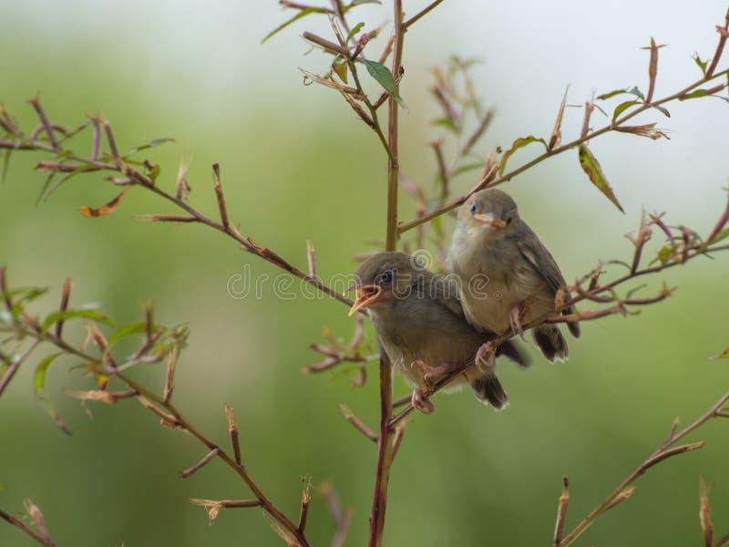 Sjungande fågel som tycker om att solbada royaltyfria foton