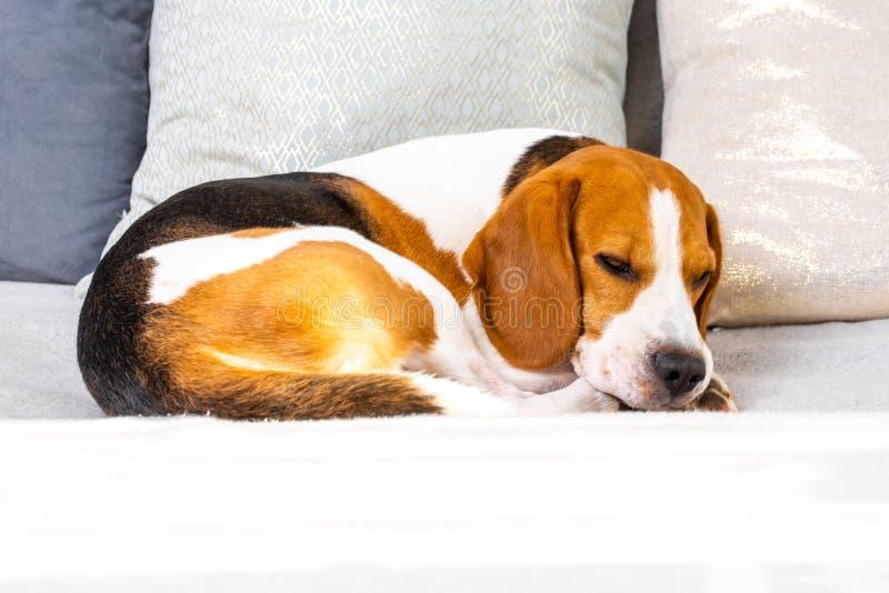 Skäckig hund som sover på en soffa arkivbild