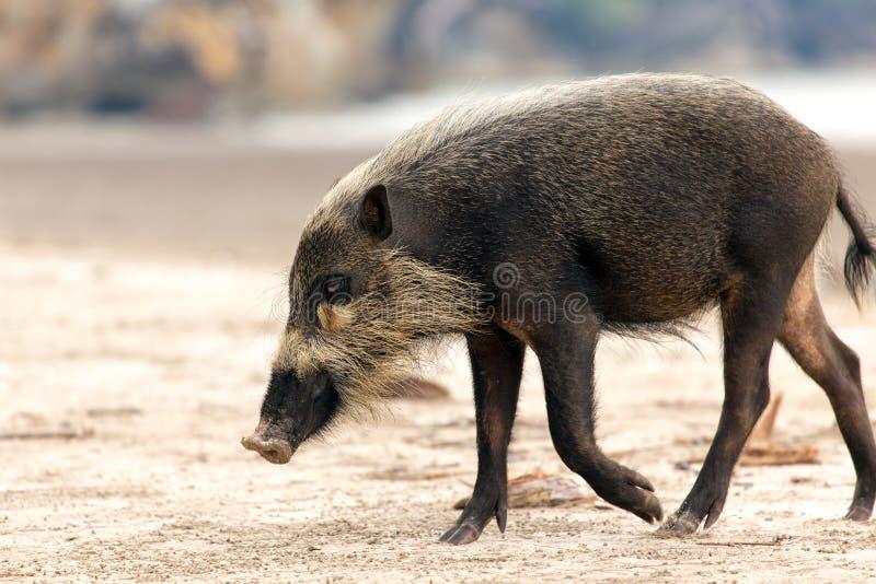 skäggig bornean pig royaltyfri foto