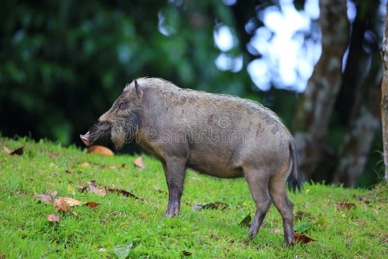 skäggig bornean pig arkivbilder