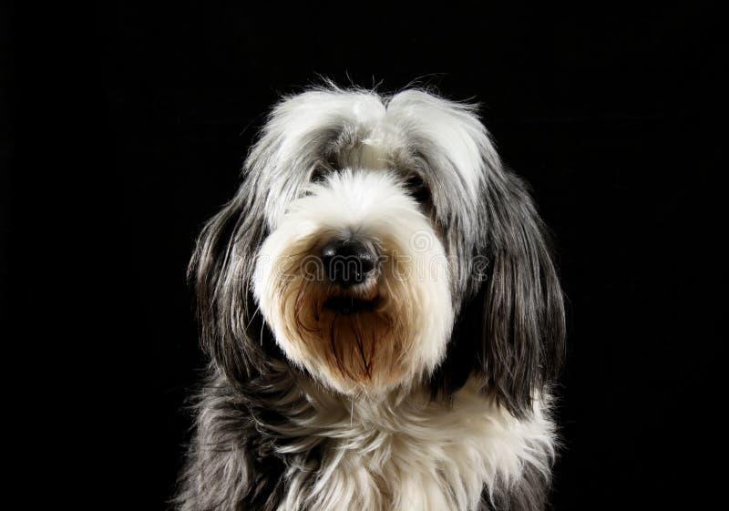 skäggig colliehund royaltyfria foton