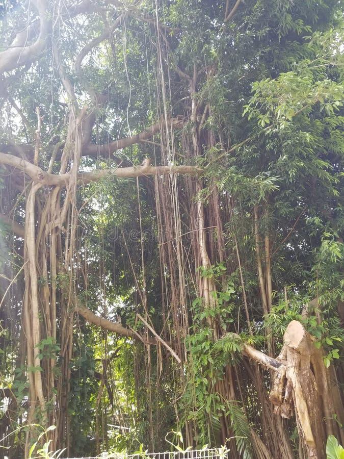 Skäggig fikonträd fotografering för bildbyråer