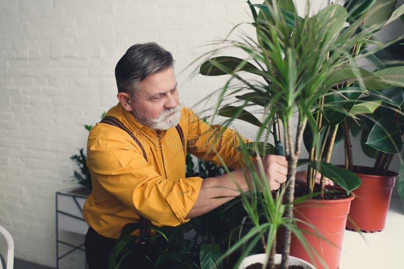 skäggig hög manlig trädgårdsmästare som planterar gröna växter arkivbild