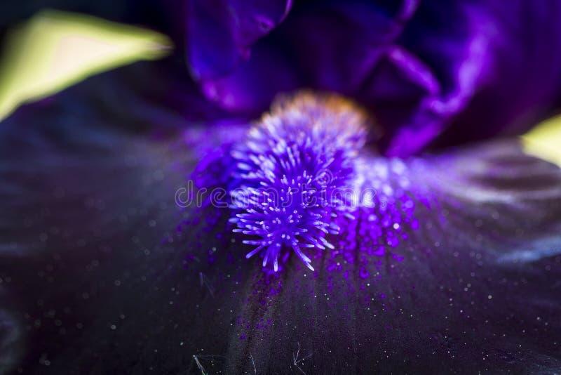 Skäggig iris i trädgård fotografering för bildbyråer