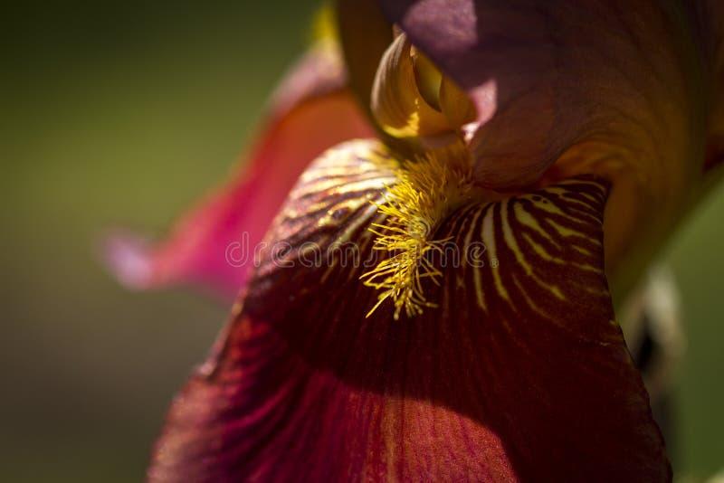 Skäggig iris i trädgård royaltyfria bilder