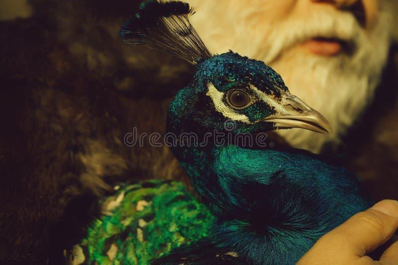 Skäggig man med påfågeln royaltyfri fotografi