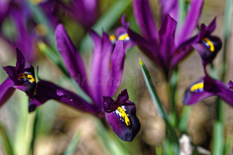 Skäggig närbild för irislilablom arkivbilder
