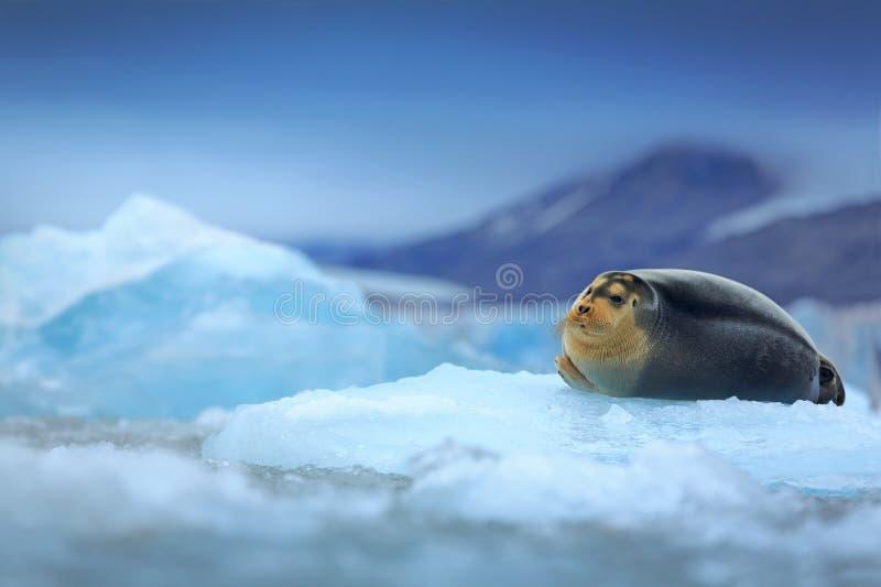 Skäggig skyddsremsa, liggande havsdjur på is i arktiska Svalbard, kall plats för vinter med havet, mörkt suddigt berg i bakgrunde royaltyfria foton