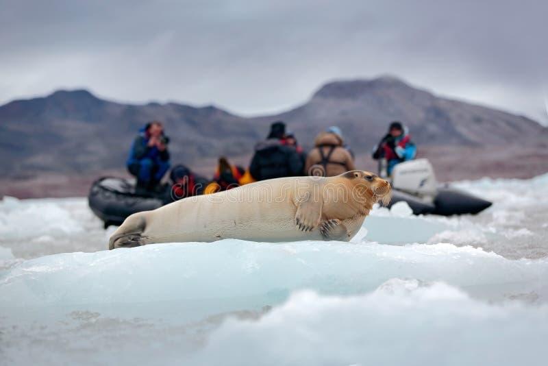 Skäggig skyddsremsa på blå och vit is i arktiska Svalbard, Norge, motoriskt fartyg med turister i bakgrunden fotografering för bildbyråer
