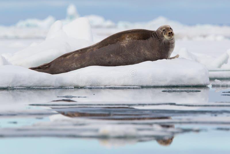 Skäggig skyddsremsa på isfloe royaltyfria bilder