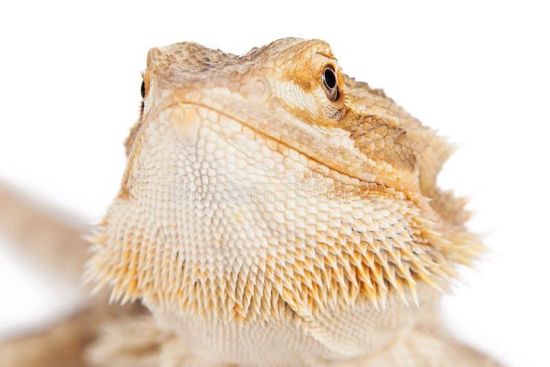 Skäggiga Dragon Closeup royaltyfri fotografi