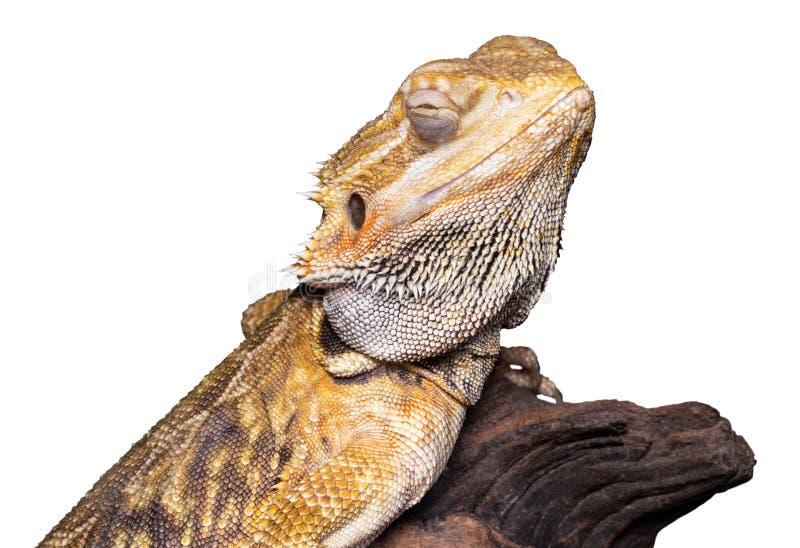 Skäggiga drakepogonavitticeps som isoleras på vit bakgrund arkivbild