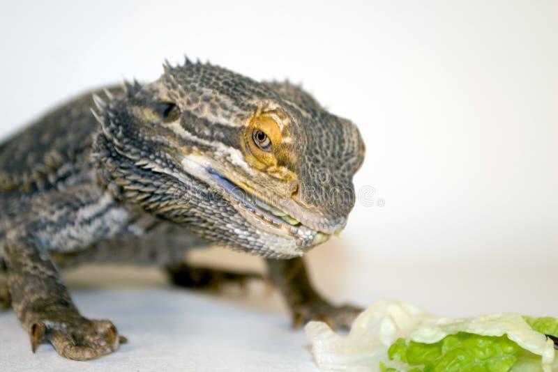 skäggigt äta för drake royaltyfri fotografi