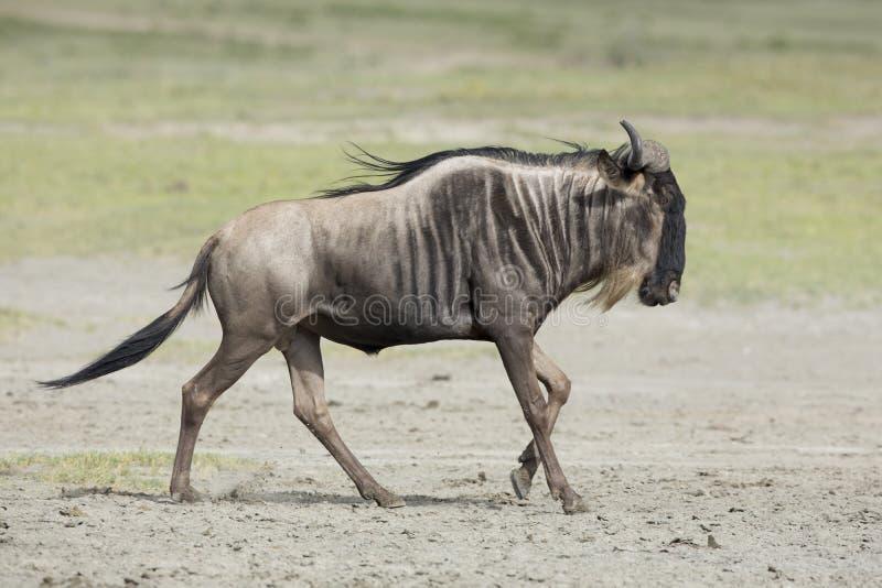 Skäggigt Wildebeestspring för vit, Tanzania arkivbild