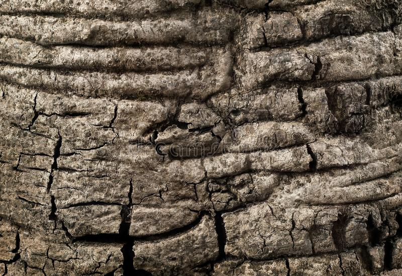 Skäll av det stora trädet, gammal wood trädtexturbakgrund arkivfoto