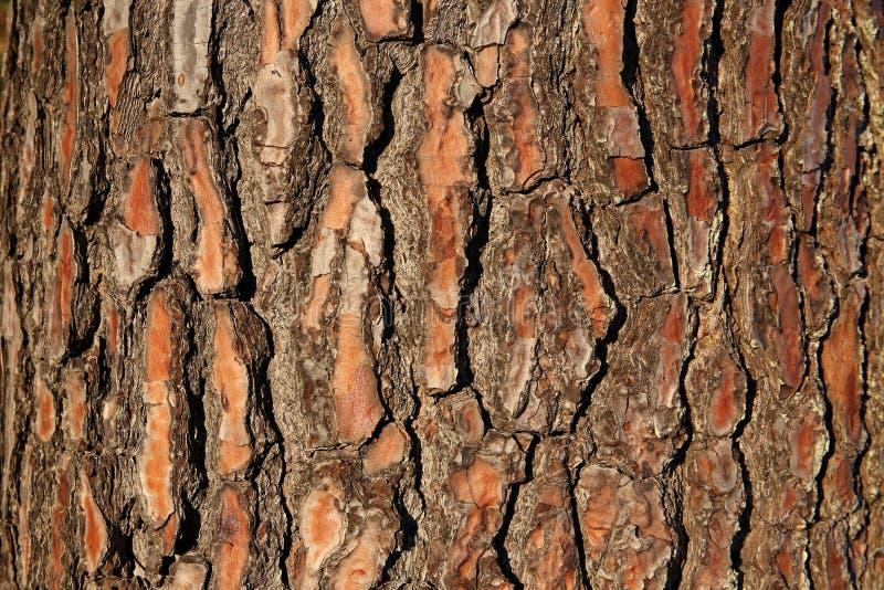 Skäll av ett granträd, Uruguay arkivfoto