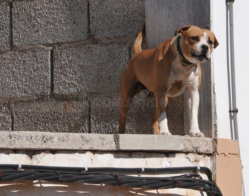 Skälla brumma hunden royaltyfri foto