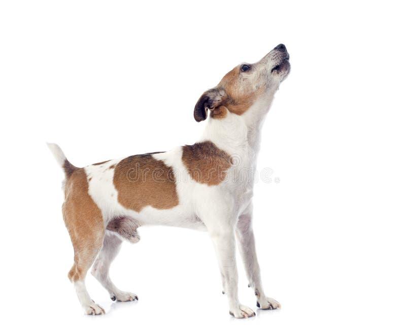Skälla den stålarrussel terriern fotografering för bildbyråer