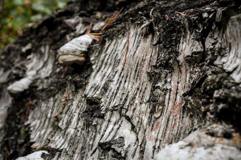 Skället av en täckt gammal stupad björk royaltyfri foto