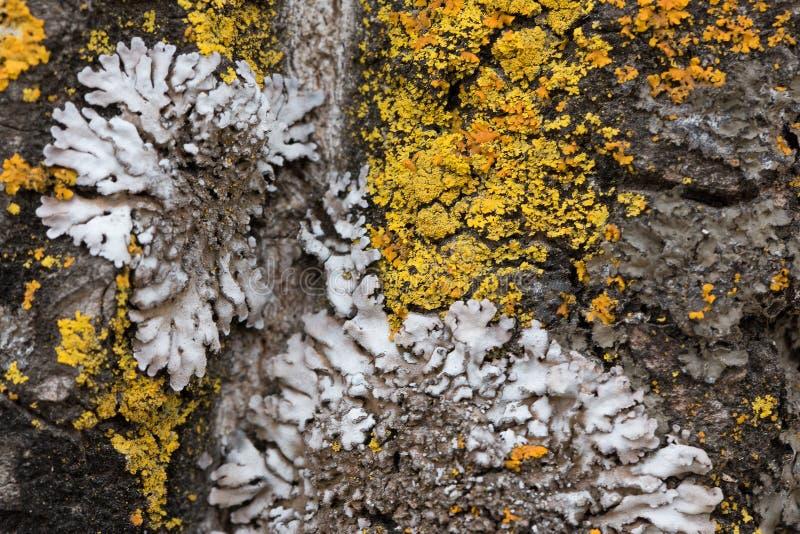 Skället av ett gammalt träd som täckas med en mossa och laver som strukturfärger av naturen close upp Makro arkivfoto