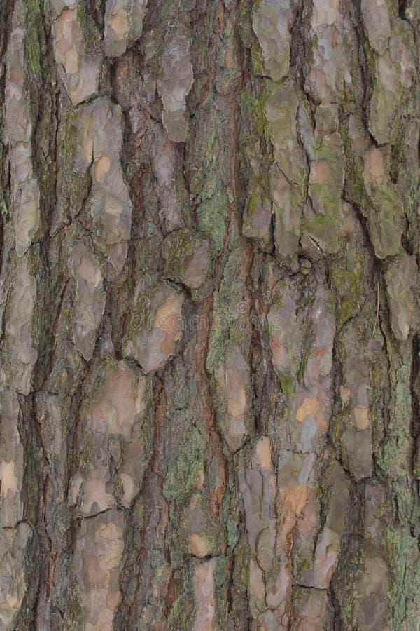 Skället av gammalt sörjer träd royaltyfria bilder