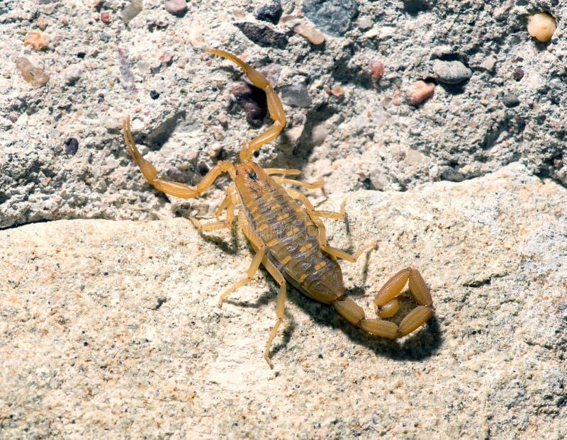 Skällskorpion - Centruroides exilicauda (förr C sculpturatu royaltyfri fotografi