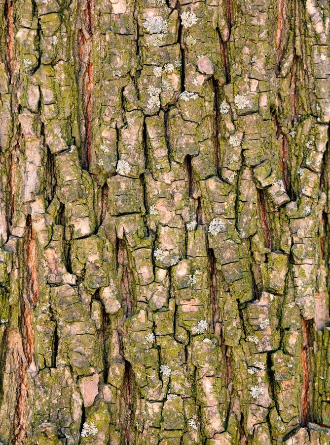 Skälltextur av det gamla trädet royaltyfri foto