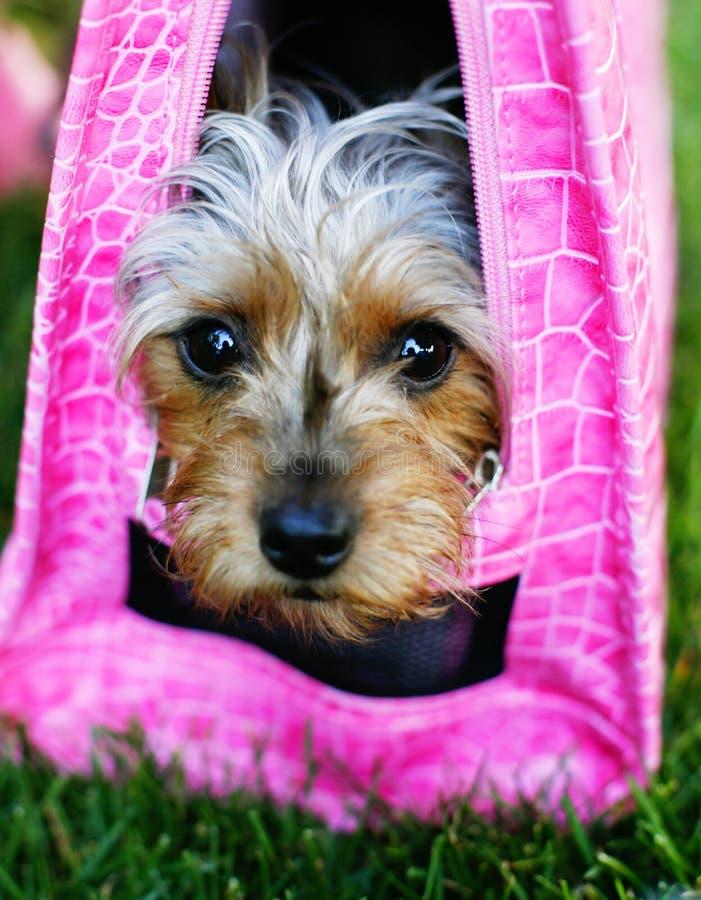 skämmd bort rosa pooch fotografering för bildbyråer